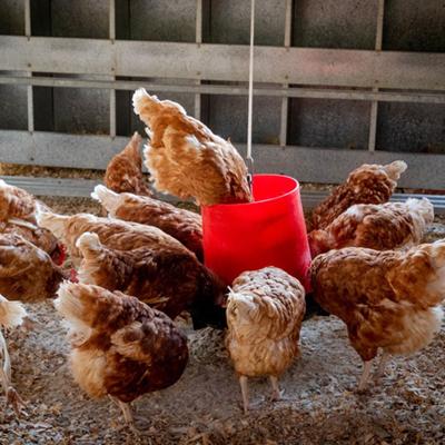 organic chicken farm
