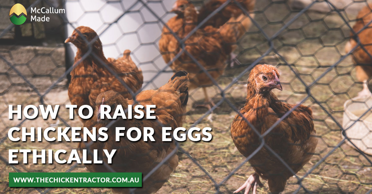 Raise Chickens for Eggs Ethically