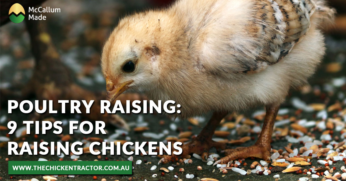 Poultry Raising Tips for Raising Chickens