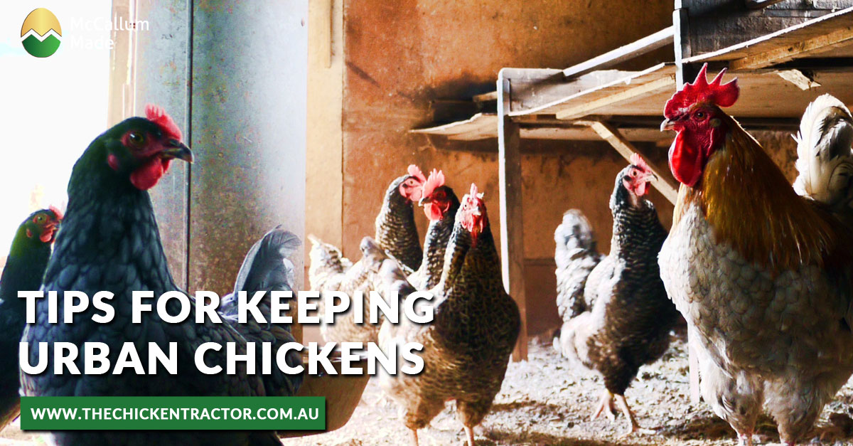 Tips for Keeping Urban Chickens
