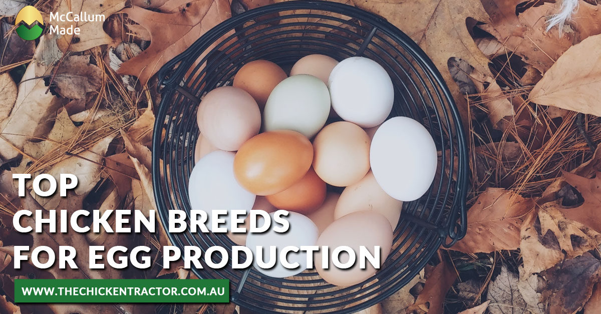Chicken Breeds for Egg Production