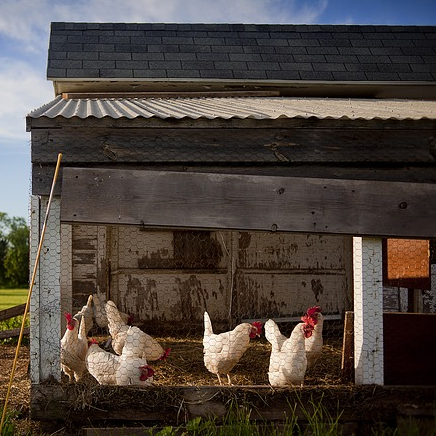 Poultry Raising: 9 Tips for Raising Chickens