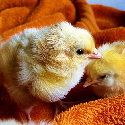 A Timeline for Raising Baby Chicks