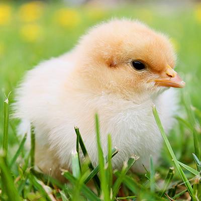 Essential Secrets for Raising Chicks