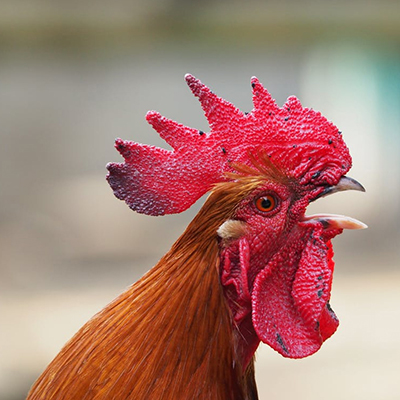 Why is the Rooster Crowing?